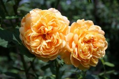 yellow graham thomas roses